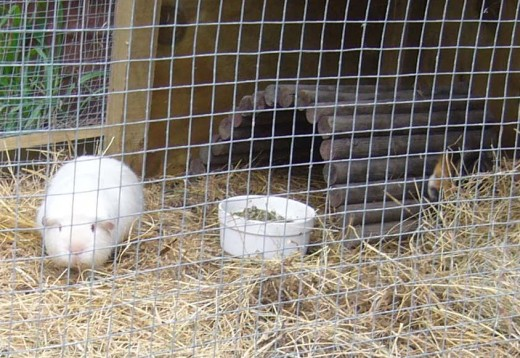 Adorable roly poly guinea pigs!