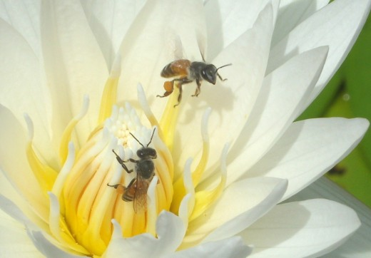 Bees at work on lotus flower