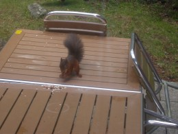 A cheeky red squirrel eating nuts from the table.