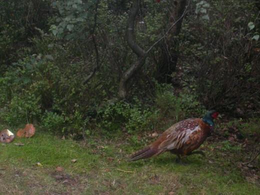 The colourful male pheasant.