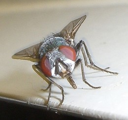 British house fly