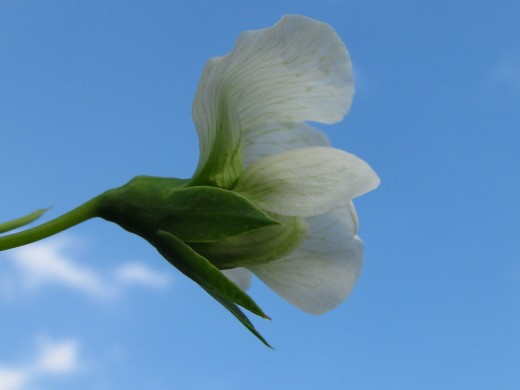Pea Blossom Day 1