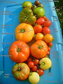 All About Tomatoes Fruit or Vegetable