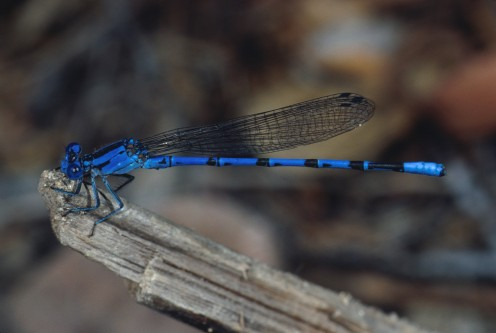 The Vivid Dancer Damselfly (sometimes called the Vivid Blue Dancer Damselfly) became the official state insect of Nevada ion 2009.