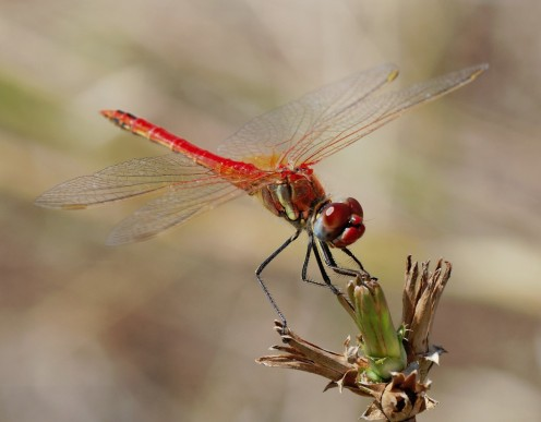 The Red-veined Darter is found in southern and central Europe as well as parts of Africa, the Middle East and Asia.