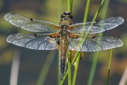Fragile Beauty -- Dragonflies and Damselflies Are Like Nature's Glass Menagerie