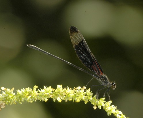 The Smoky Rubyspot is a damselfly found throughout the eastern United States.