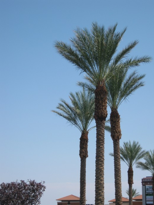 Canary Island Date Palm Trees