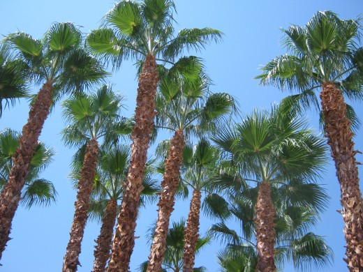 Palm trees with a blue sky background... there aren't many things prettier! :)