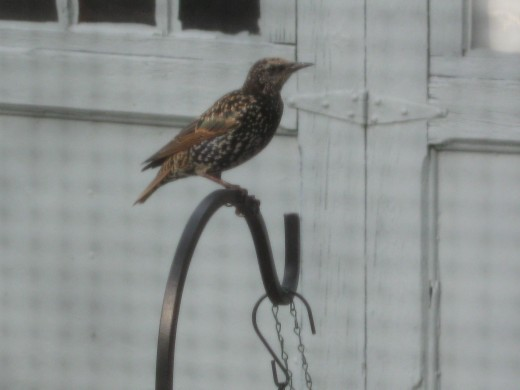 starling at suet feeder