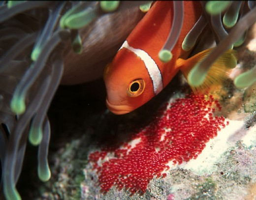 fish lay eggs