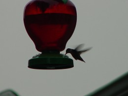 Bird (humming bird) swooping in for food like people in a flea market swoop in for bargains!