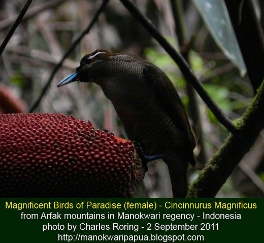Female Magnificent Bird of Paradise (Cincinnurus Magnificus) was eating grains of Red Fruit in tropical rainforest of Arfak mountains - Manokwari regency - West Papua province of  Indonesia