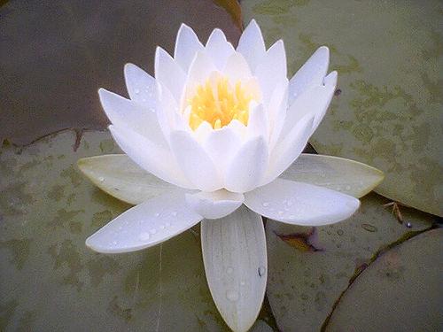 Lotus Flower from wasoxygen Source: flickr.com