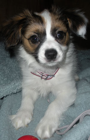 A 10 week old Papillon puppy.  Papillon ears start out floppy, and normally stand up before the puppies reach 6 months of age.