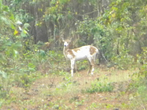 My own personal encounter with a beautiful Piebald deer on 9-4-11.  A birthday gift from nature itself for an unforgettable experience and photo opportunity.