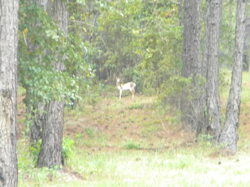The very first photo, taken as we slowly reversed the truck in hopes the suspected piebald deer would still be standing there.