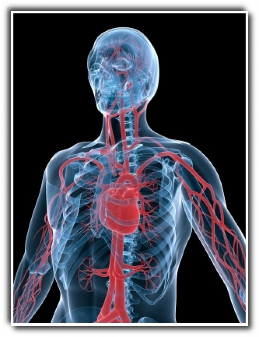 Heart and Blood Circulation