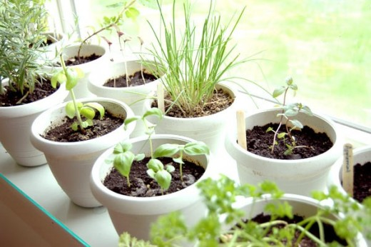 Using small containers that can soak in the sunlight in a window allows you to enjoy gardening and fresh herbs all year long. Even in the coldest climates you can have a garden indoors.