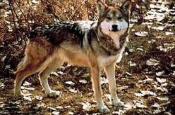 The Mexican Gray Wolf