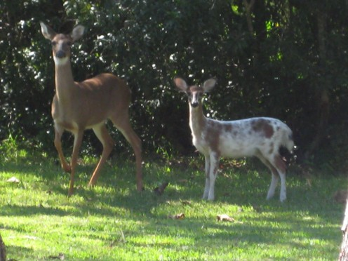 Compare this piebald fawn with the above common whitetail fawn.