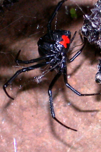 Black widow spider picture by Laura Henderson Design: http://www.flickr.com/photos/laurahendersondesign/