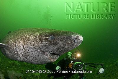 A Greenland shark