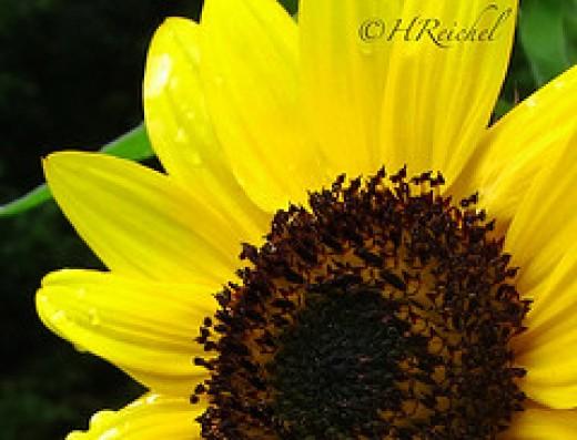 Day 9 Photo- my neighbors sunflowers