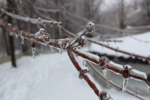 a photo of a tree branch in my backyard, ice accumulated on all the trees. 2/2/11