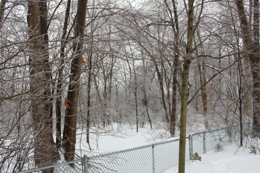woods behind my house after the Ice storm, not enough to cause major damage but enough to be beautiful 2/2/11