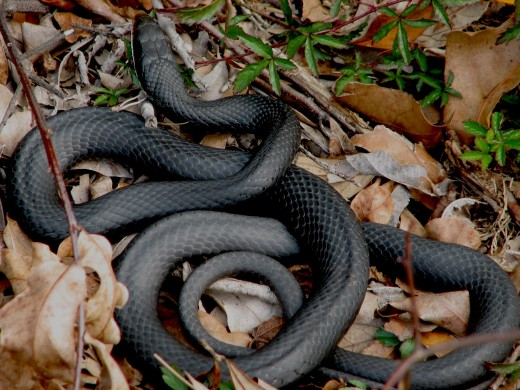 Southern Black Racer.  It is not uncommon to find these Black Racer snakes in Florida in suburban yards.  They are less fearful of people than many other snakes and can become aggressive or even charge at people if they feel threatened.
