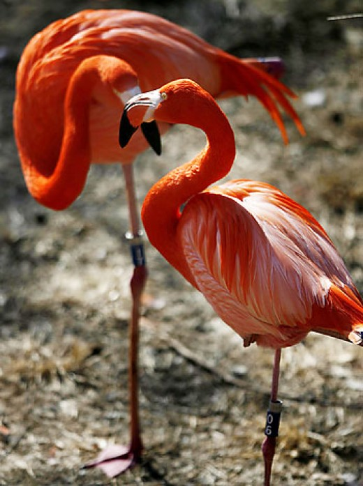 "Flamingo's that are more ""orange"" in color"