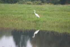 Beautiful White Egret Pictures