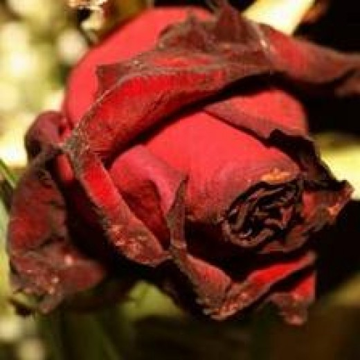 a broken heart - a rose withers