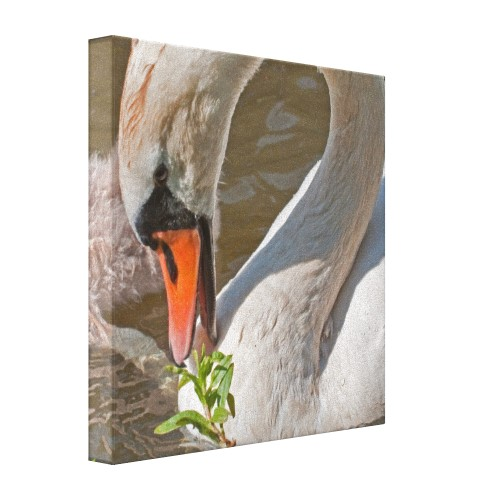 Wrapped canvas print featuring close-up of a mute swan feeding. Part of the 'WATER AND WILDLIFE' collection.