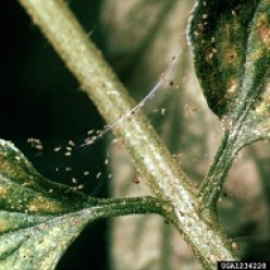 Webbing on Houseplant? You May Have Spider Mite