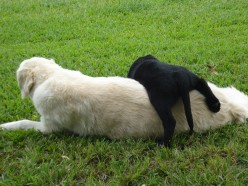Big Dog Meets Little Dog: Introducing a New Puppy to the Pack