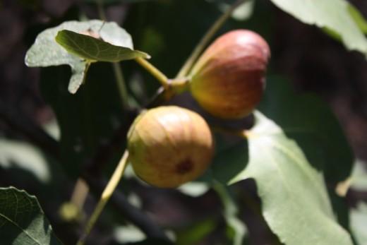 Beautiful ripe figs