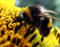 Buzzing Bumble Bee