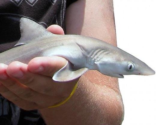 Juvenile dusky shark