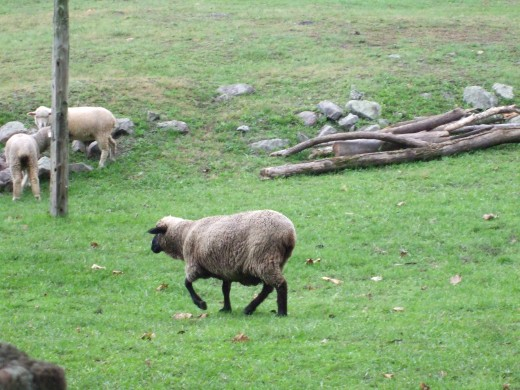 A ewe at Hopewell Furnace.
