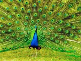 The Beautiful Peacock - National bird of India.
