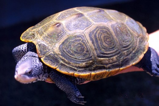 Diamondback Terrapin held in someones hand.