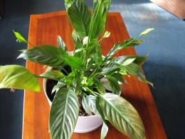 My favorite houseplant, the Peace Lily asks for a little light and water once in a while. One Peace lily I had lasted well over ten years...that is a record!