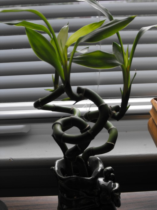 Now here is a real easy plant...no soil...just tiny rocks and water...buy ready assembled and just remember to water
