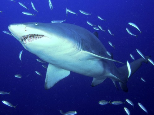 A tiger shark swims with a school of fish.