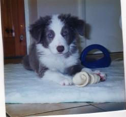 Canine Hip Dysplasia and Osteoarthritis