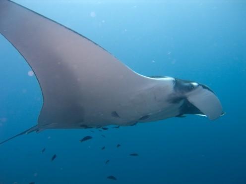 A manta ray flies along. I mean, SWIMS along!