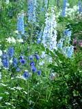 Delphiniums - colour and height.