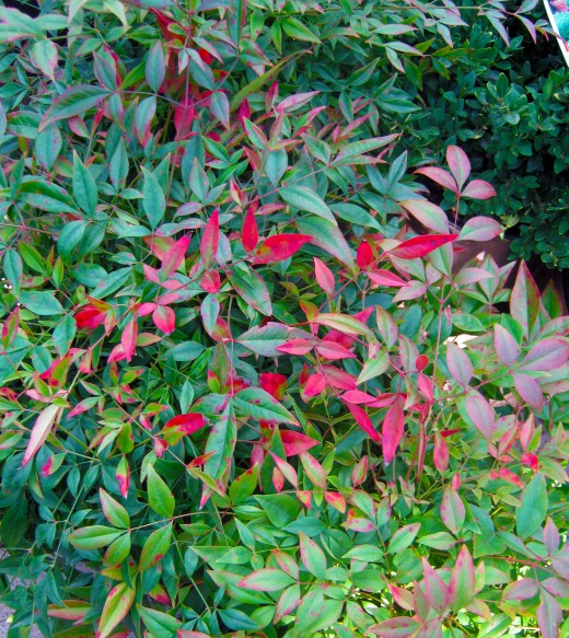this Nandina is starting to  change color